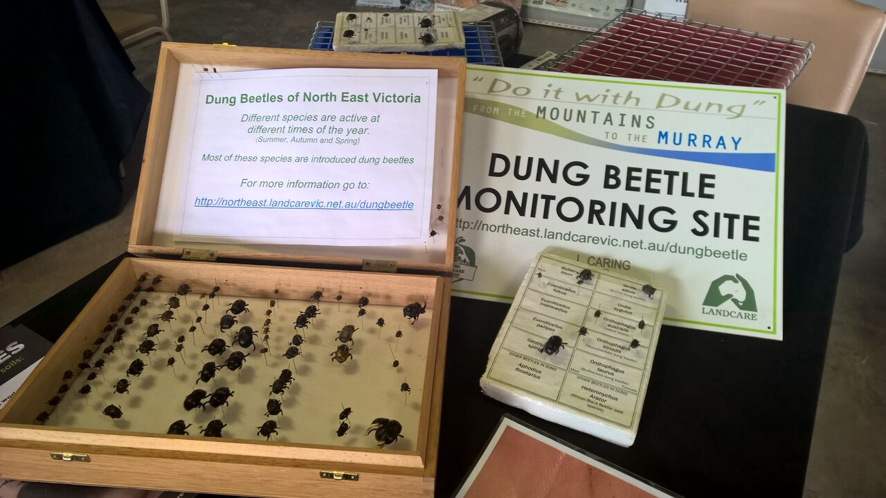 Dung beetle display
