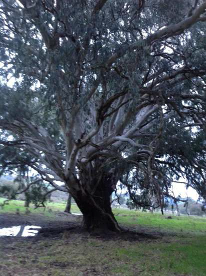Our Weeping Red Gum
